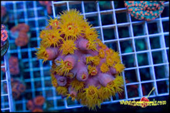 Tubastraea sp. Photo by Cherry Corals.