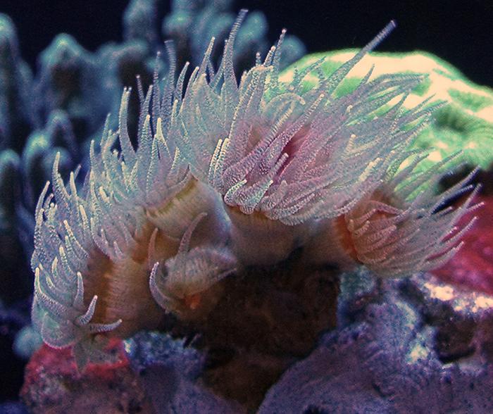 Dendrophyllia sp.