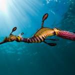 reefs.comSeadragon