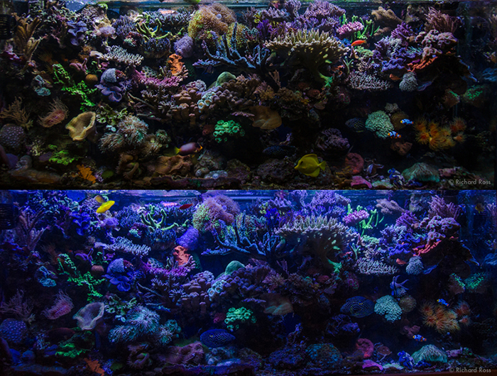 Better is in the eye of the beholder. People think corals are better under different lights, but how can this kind of subjective assessment help you make decisions about your reef? Photos by Rich Ross.