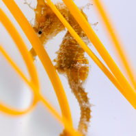 seahorse-3-199x300