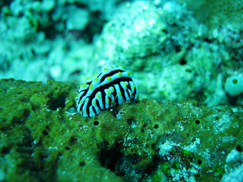 Phyllidia varicosa, in the Maldives. Photo by Carlos Prates, 2008.