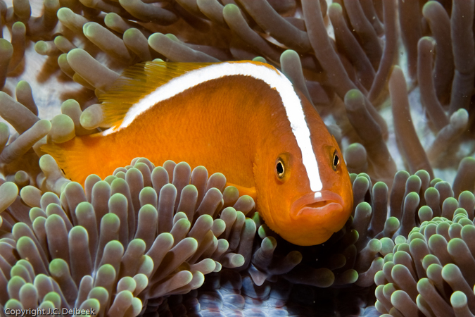 Orange skunk clownfish, Amphiprion sandaracinos, at Dead Palm.