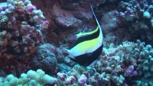 843380105-moorish-idol-stone-coral-striped-pattern-rangiroa