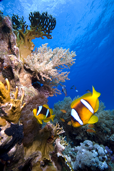 A strong blue will show off the colours of fish like these Amphiprion bicinctus in the Red Sea
