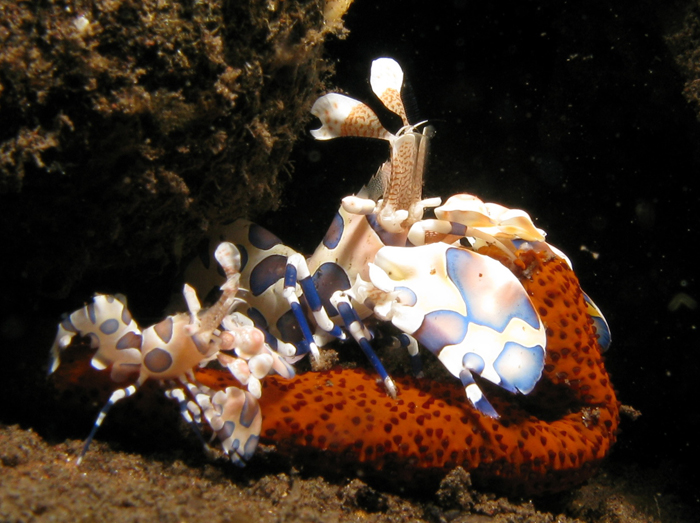 A pair of Harlequin Shrimps dismembers a Linckia Starfish. Photo by Prilfish, Creative Commons.