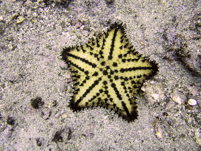 Chocolate Chip star fish. Photo by Steven Bedard, Creative Commons.