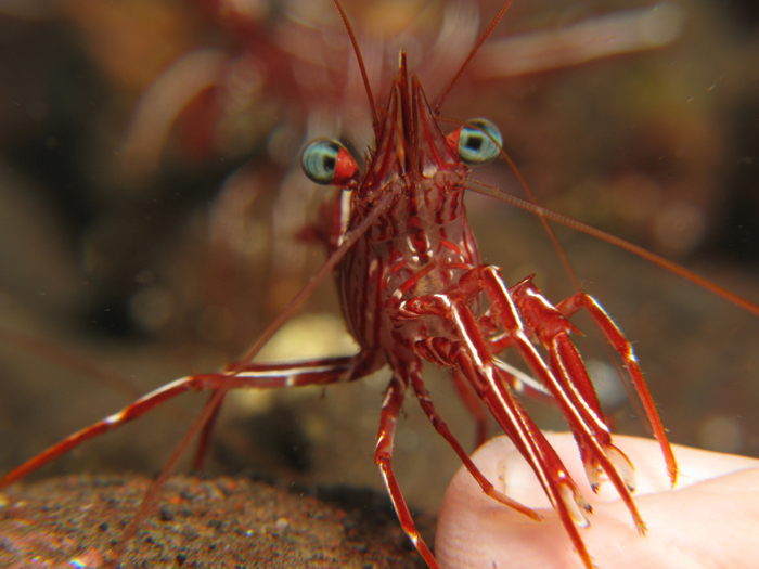 A dancing shrimp (Rhynchocinetes sp.) 'cleaning' a diver's finger.