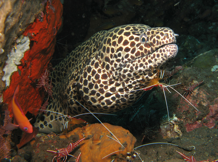 A group of L.amboinensis clean a Honeycomb Moray. Photos by Ingrid Taylar, Creative Commons.