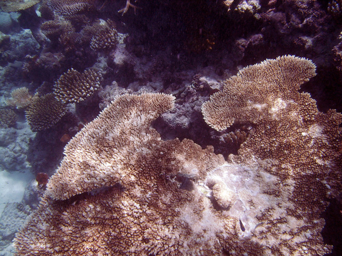 Bleaching is perhaps the best known form of coral stress.