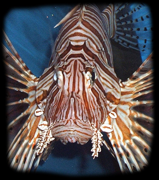 "Lionfish ""vacuum -like"" mouths can be easily damaged by prey that is too large."