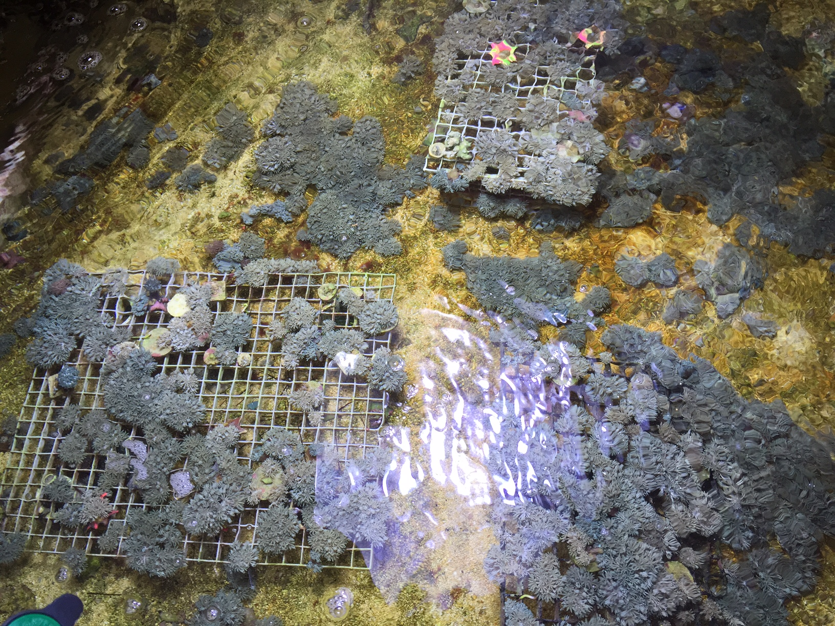 xenia refugium what s in by your sump reefs com