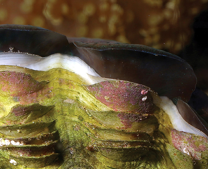 An easy way to assess the general well being of a tridacnid is to look for the addition of new shell growth at its edges. If a clam isn't adding at least a small amount of new material each month, there's likely a problem.