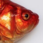 Released Aquarium Fishes Plague Colorado Lake