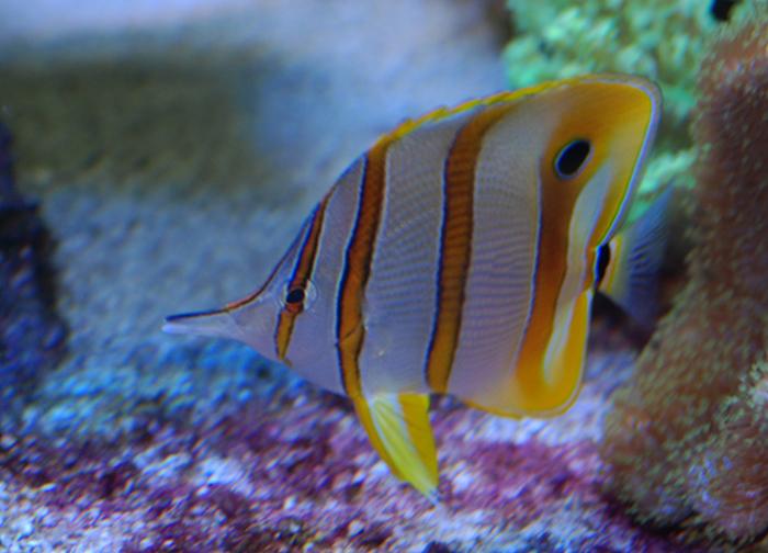 Pest free reefkeeping for Aiptasia eating fish