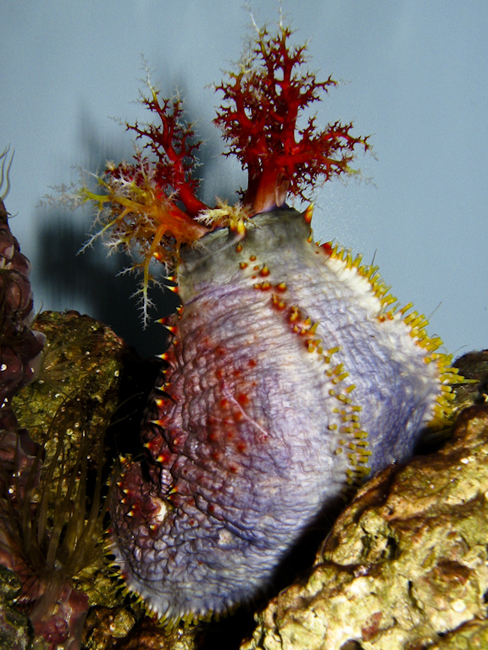 Sea Apple. Photo by J.C. Delbeek. Courtesy of the California Academy of Sciences.