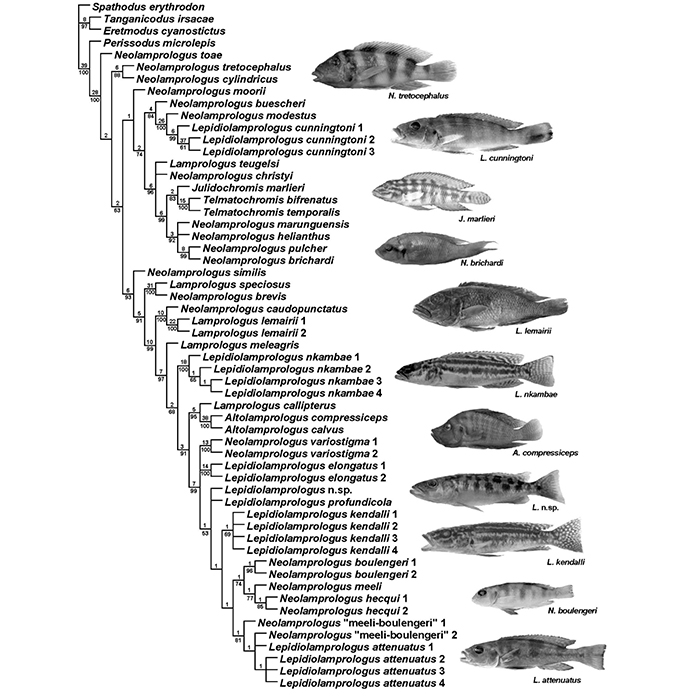 A cladogram showing the phylogenetic relationships between cichlids in the genus Lepidiolamprologus. After Shelly et al., 2005.  http://research.amnh.org/scicomp/pdf...y_etal2006.pdf