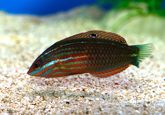 A sensibly named fish, Halichoeres biocellatus. Halichoeres means 'salt pig' and refers to the fishes' pig-like snout and biocellatus refers to the two 'eye' spots.