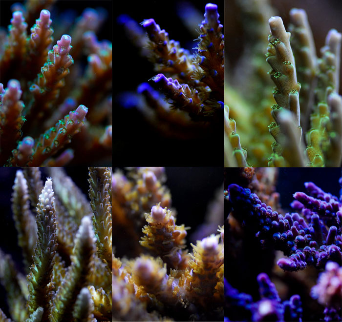 A few of the Acropora colonies grown from frags and lost to an unfortunate high alkalinity accident.