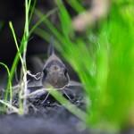 corycatfish