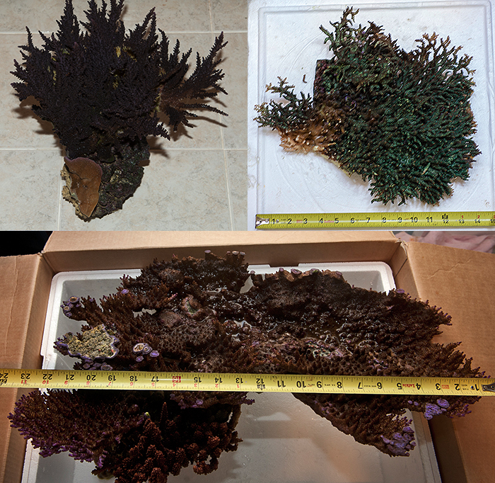 Some examples of corals removed from the reef over the years.