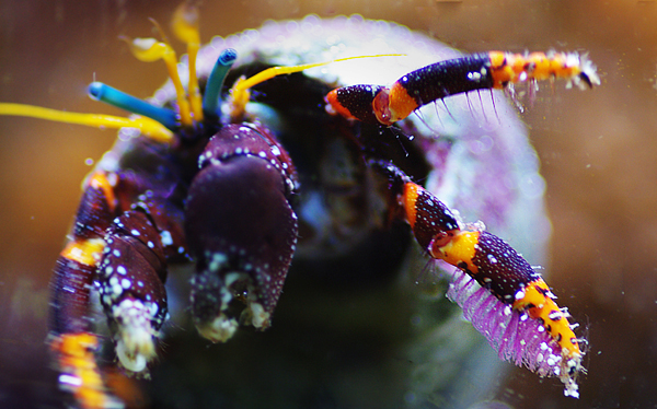Orange banded Hawaiian hermit crab. These are the only two non-coral invertebrates to survive.