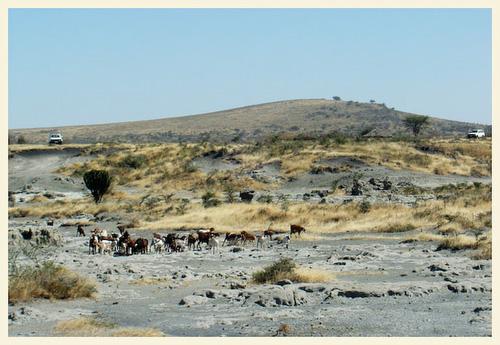 catle in Tanzania