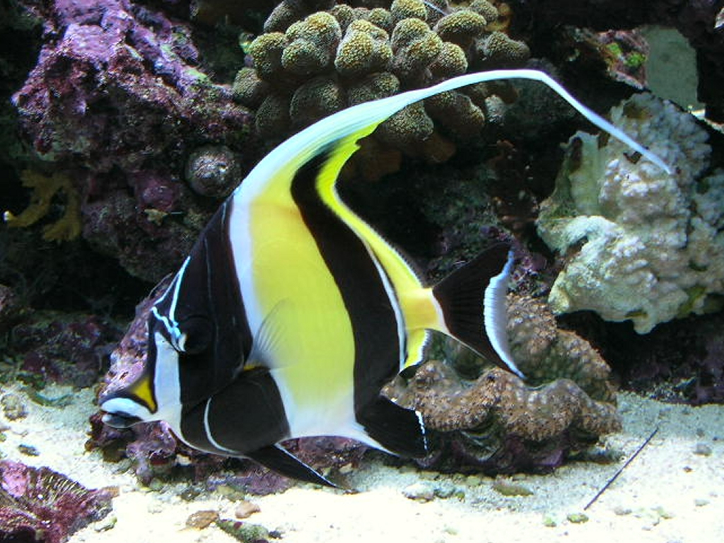 Even now do moorish idols remain impossible to keep for Keeping fish