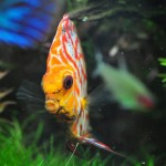 pandadiscus