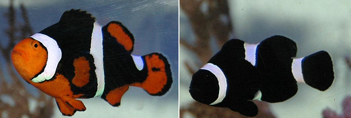 The parent clownfish, Onyx on the left and Darwin on the right.