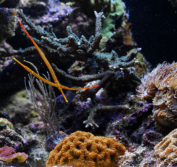 A pair of Doryrhamphus pussuliferus in the high flow reef tank.