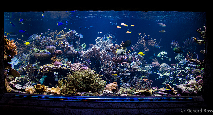 "Joe Yaillo's 20,000 gallon reef tank at the Long Island Aquarium and Exhibition Center is arguably one of the most successful reef tanks in the world. Joe says ""I am very happy if I can keep it {phosphate level} at .12 ppm. Photo by Richard Ross."