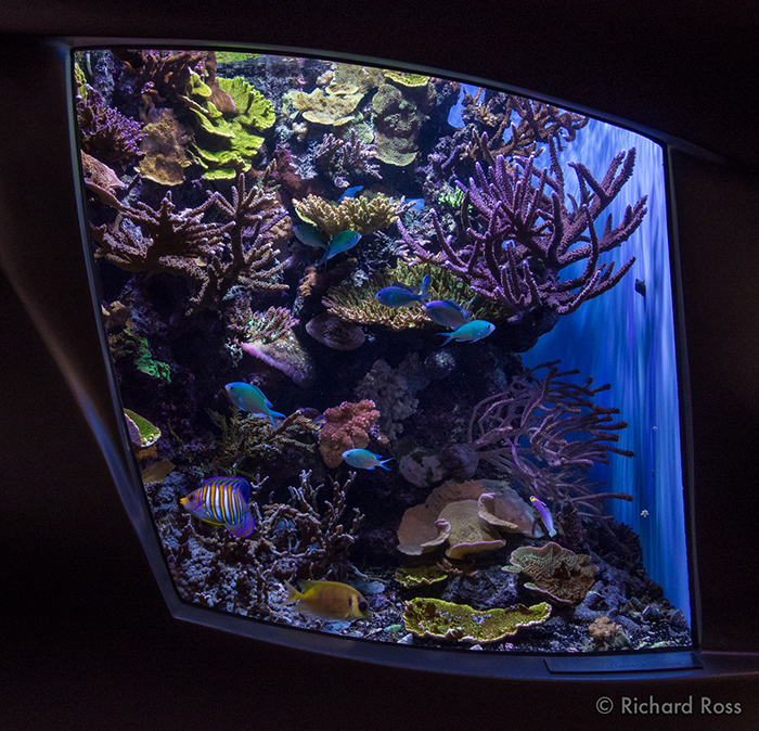 This reef tank at the Steinhart Aquarium runs a phosphate level of .1 ppm, twice the generally recommended level, but it doesn't seem to be hurting. The corals are robust and strong. Photo by Richard Ross.