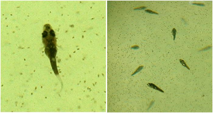sanjay-larvae
