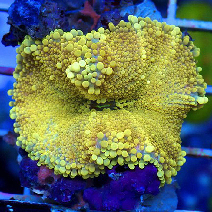 A perfectly yellow Ricordia yuma, compliments of Cherry Corals.