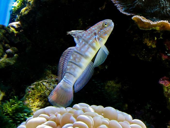Amblygobious phalanae - up to 42 months in aquaria. Photo: J. C. Delbeek