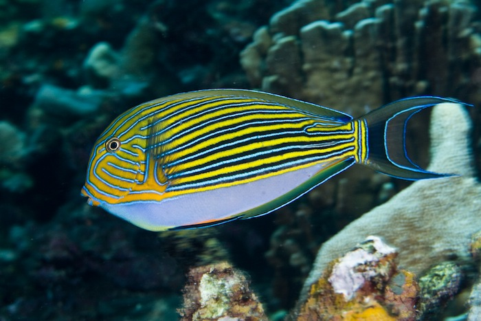 Acanthurus lineatus - at least 42 years in the wild. Photo: J. C. Delbeek