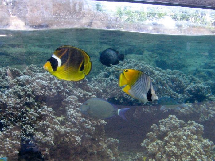 A pair of butterflyfish at the Waikiki Aquarium, Chaetodon lunula (25 years) and C. auriga (16 years.) Photo: J. C. Delbeek