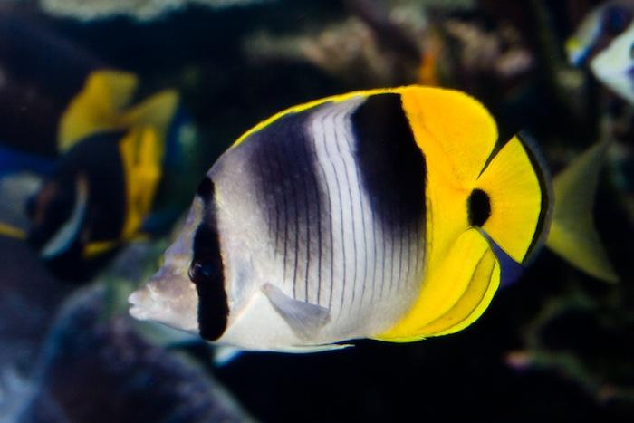 Chaetodon ulitensis at the Waikiki Aquarium, 25 years and counting. Photo: J. C. Delbeek
