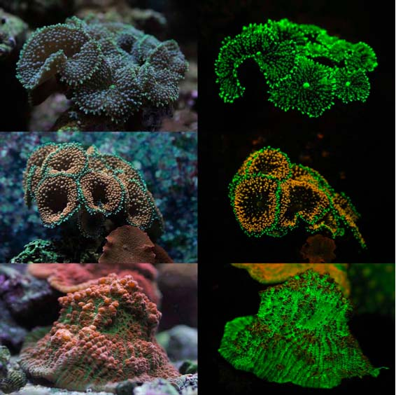 Figures 2-8. Corals in my tanks under normal light and how they fluoresce.