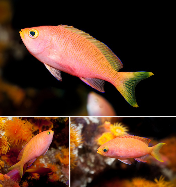 Anthias-female