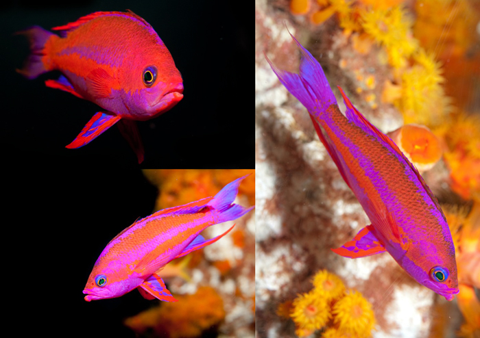 Anthias-male