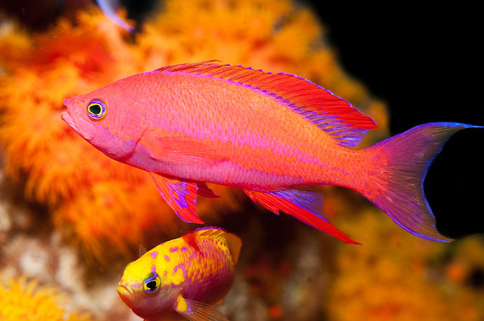 Anthias-male3