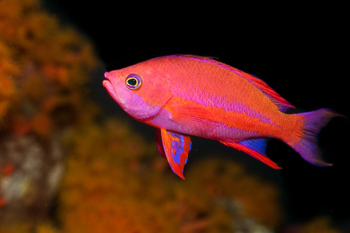 Anthias11