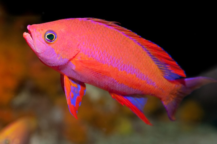 Anthias8
