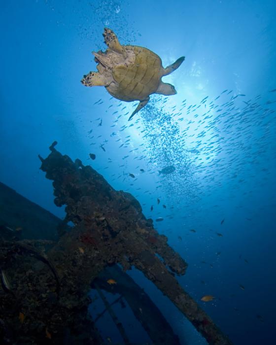 A Hawksbill turtle swims over an anti aircraft gun on the SS Thistlegorm.