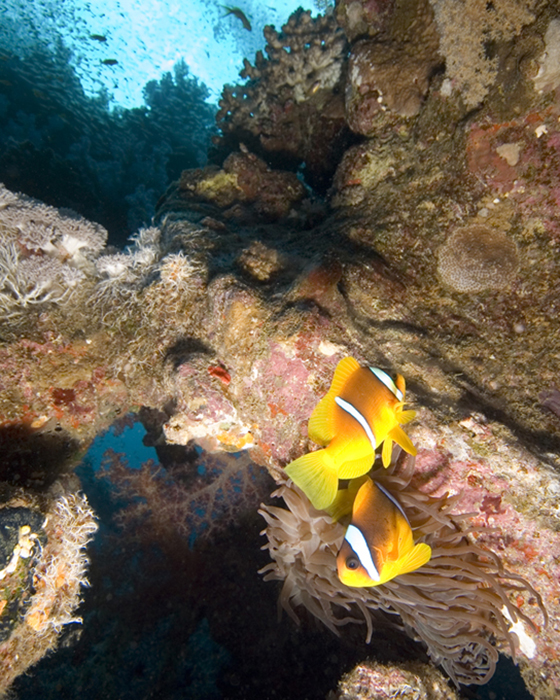 Red Sea Anemone fish defend their territory. This anemone is attached to what were once the ribs of the ship.