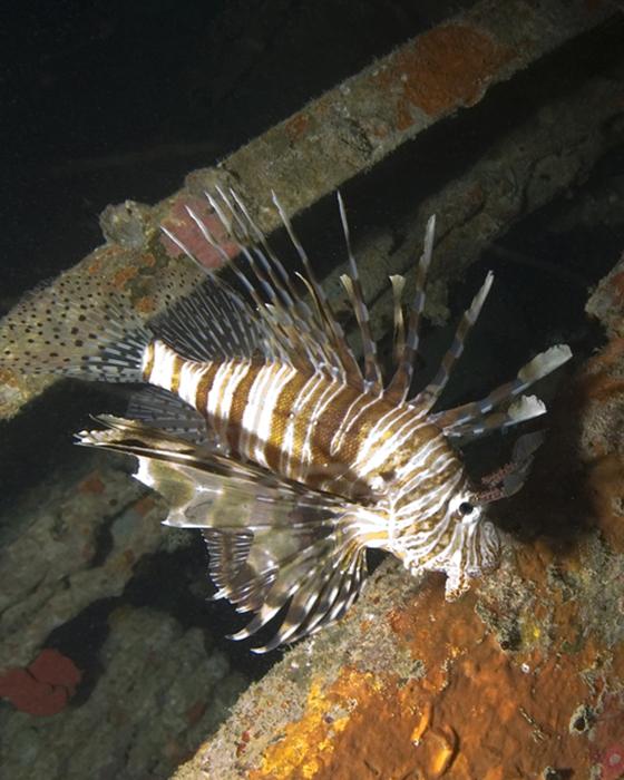 Lionfish have venomous dorsal spines.