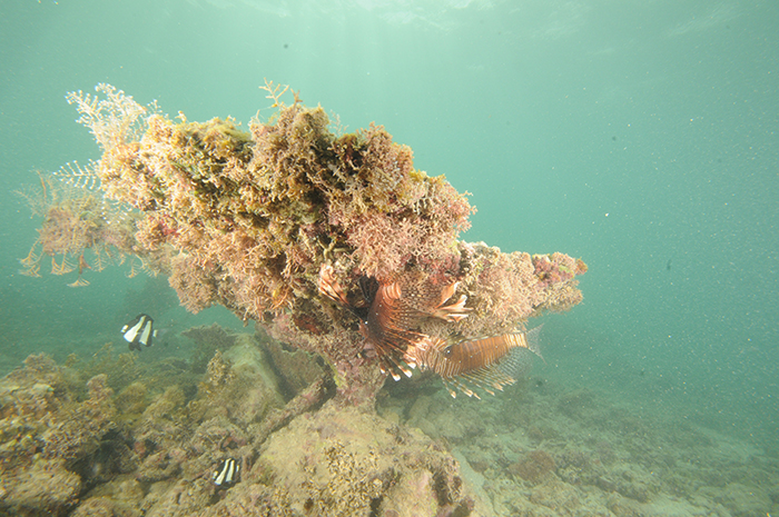 A dead coral formation provides shelter for damsels and lionfish. The coral has been entirely overgrown by macro algae and hydrozoans. The water is very turbid.