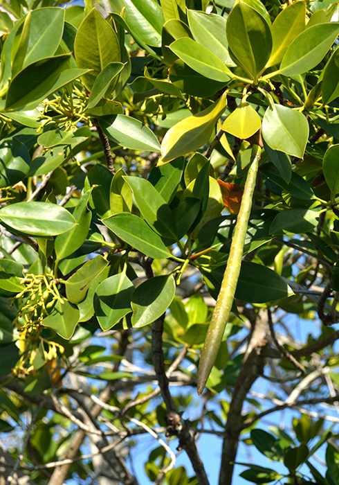 A propagule still on the tree, to the left are flower buds.